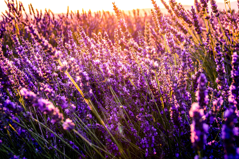 lavender Provence tourism
