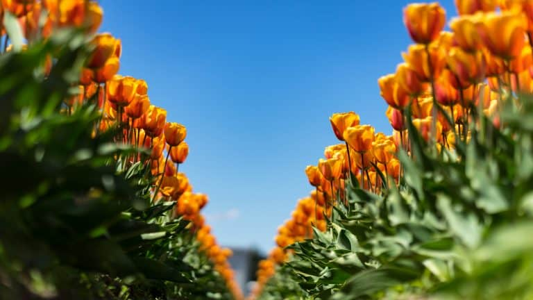 Tulips are blossoming in China