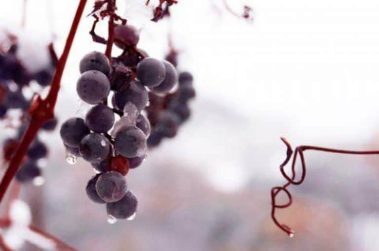 Chinese Consumers Love Trying New Alcohol: Discover Ice Wine